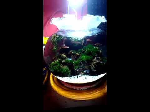 tutorial aquascape aquarium bulat indonesia