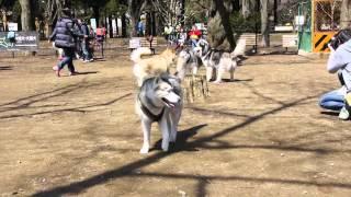 ハスキーが集まると聞いて代々木公園ドッグランに行ってきました。