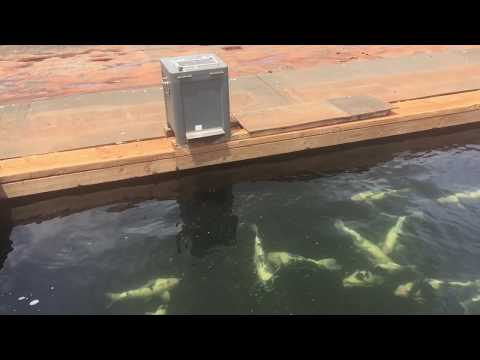 Automatic Koi Feeder - What All Japanese Breeders Use!