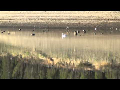 Pelicans with bird and lake sounds - Relaxation Meditation 鹈 / Pelikan / Pélican /