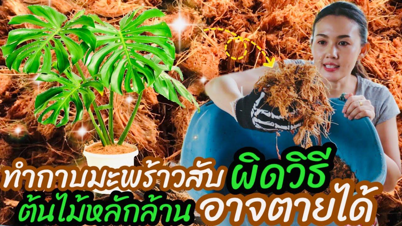กาบมะพร้าวสับ อาจทำต้นไม้ราคาหลักล้านตๅยได้ ถ้าไม่ล้างสารแทนนิน ทำเปลือกมะพร้าวสับยังไงให้ปลอดภัย