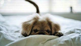 Когда хозяина нет дома.   Или как спят животные на кроватях хозяев.
