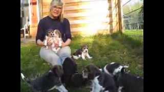 Beaglewelpen Von Rekkas Holzhütte (vdh/fci)im Alter Von 4 Wochen In Der Märzsonne Bei 18°c