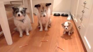 Enda gången mina hundar lyssnar .. man kan tro att de är lydiga men skenet bedrar ;)