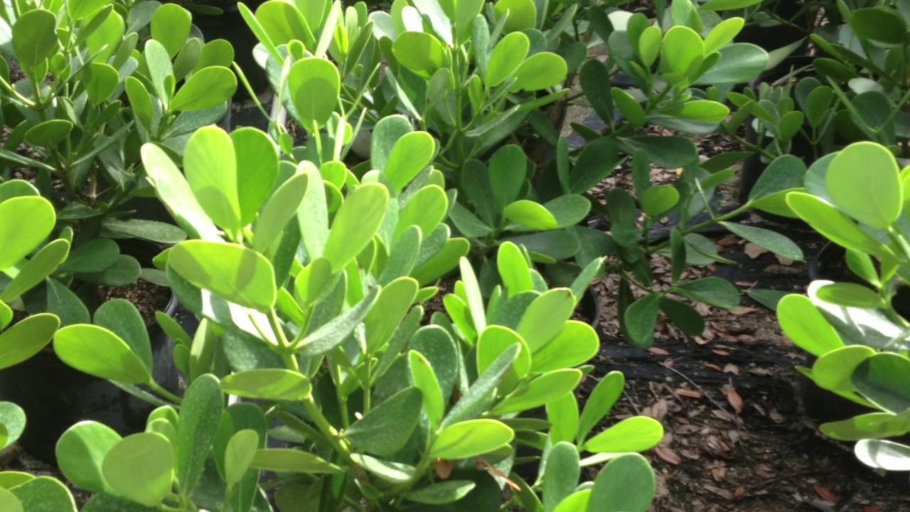 Whole Clusia Miami Plants