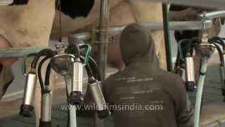 Milking Parlour with a man tending the cattle - Punjab