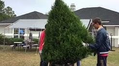 Rogers farm Fresh Cut Christmas Tree @Jacksonville Fl