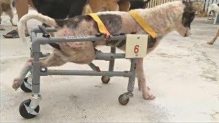 Тайванец делает инвалидные коляски для собак из пластиковых труб (новости)