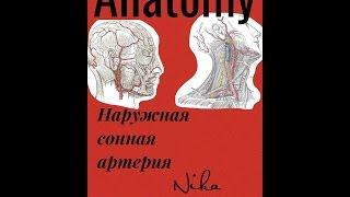 Артерии большого круга кровообращения. Наружная сонная артерия