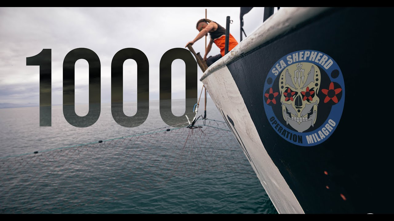 Se extingue inexorablemente la vaquita marina: quedan menos de 10 ejemplares