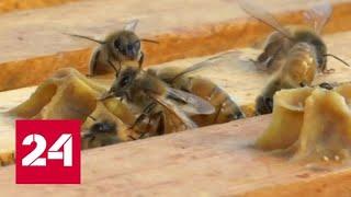 Эксперты: нынешний урожай меда опасен для здоровья - Россия 24