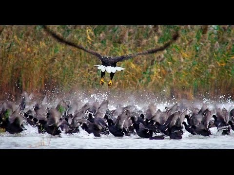 Орлан-белохвост против лысух