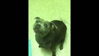 Blue Staffordshire Bull Terrier Specking Talking