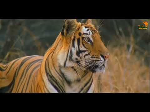 Wild Fauna / Тигриные воины / Тигры