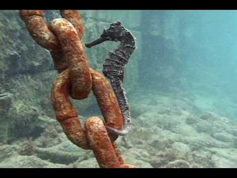 Bermuda Seahorse