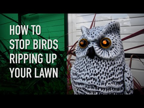 Birds Ripping Up Your Lawn? | Why Do They Do It And How Do You Stop Them?