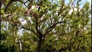 Şeftali Yetiştiriciliği - Şeftali Ağacının Budanması 1. Bölüm