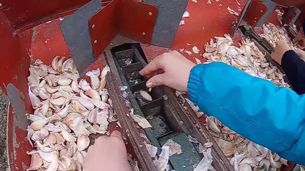 Garlic sow seminare l 39 aglio ecco come facciamo youtube for Seminare aglio