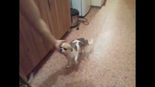 Как научить собаку хромать (команда