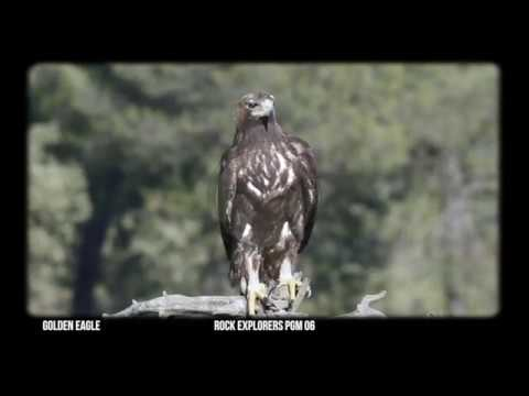 Golden Eagle - Through the Lens 06