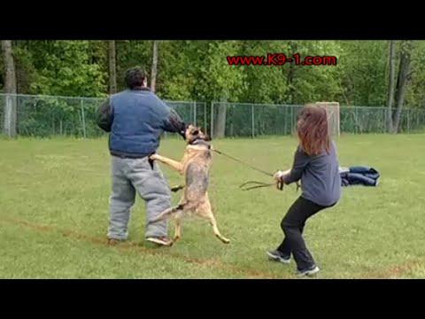 American line German Shepherd vs Working line (K9-1.com)