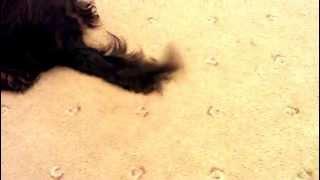 English Cocker Tail Wag