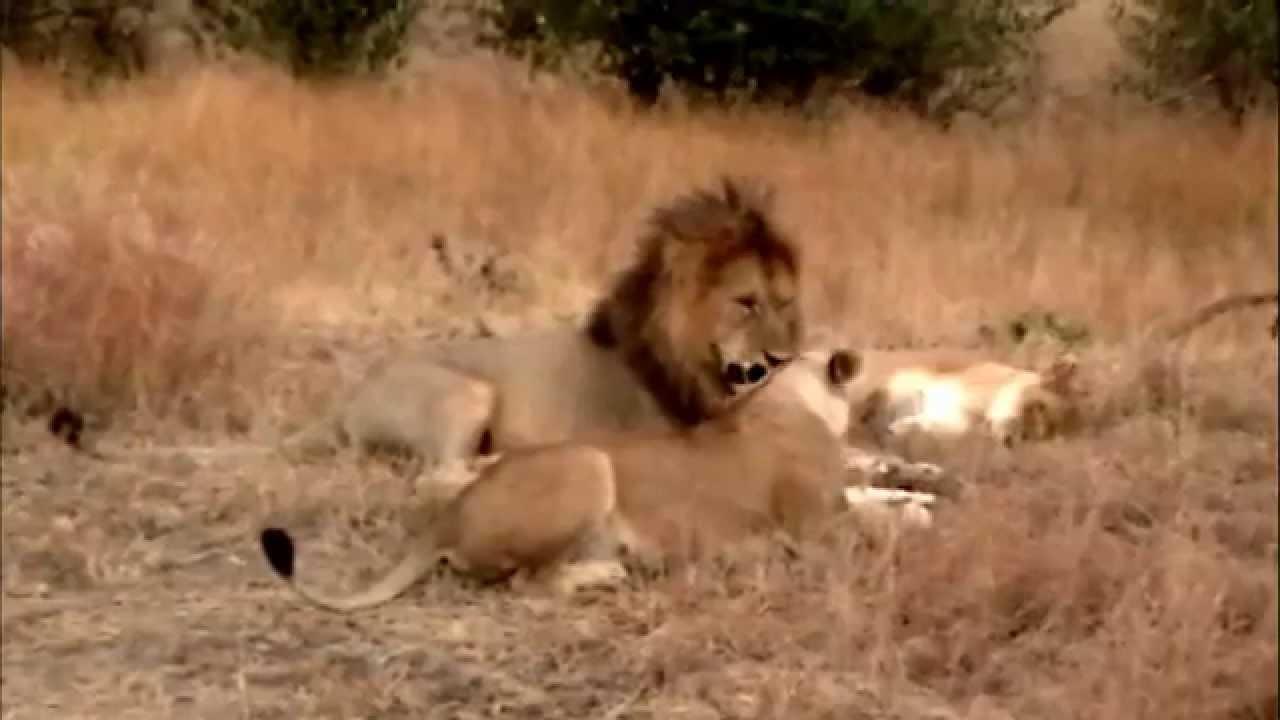Masai Mara Lions Mating  Male Shuns 2Nd Female - Youtube-2523