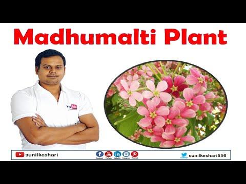 madhumalti plant or combretum indicum
