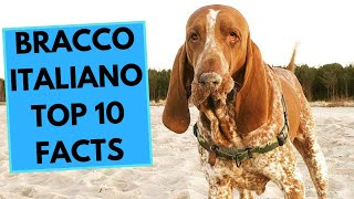 Bracco Italiano  TOP 10 Interesting Facts