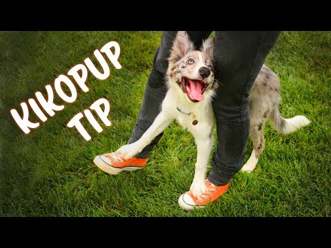 KIKOPUP TIP for teaching Cop Cop (Your feet on mine) - Dog Tricks thumbnail