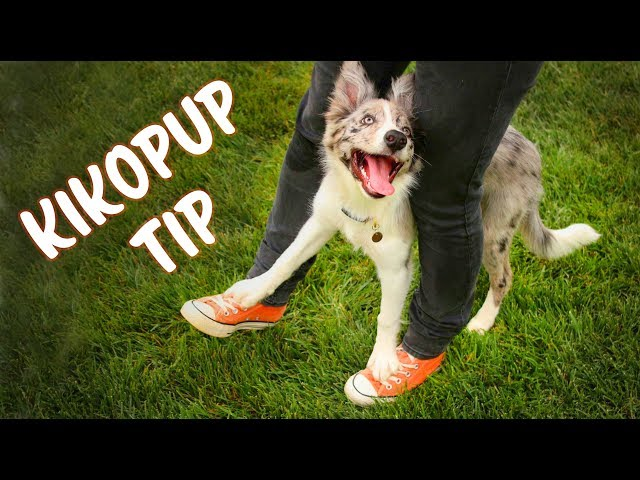 KIKOPUP TIP for teaching Cop Cop (Your feet on mine) - Dog Tricks