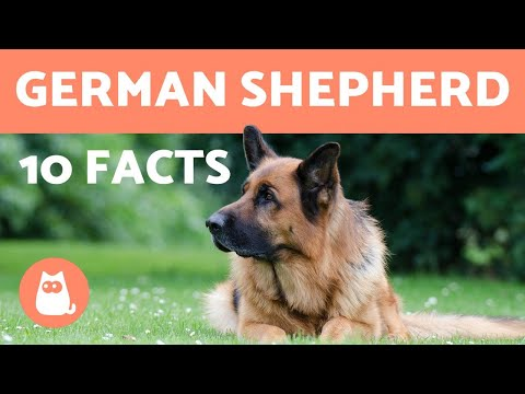 10 German Shepherd Facts - Their History and More!