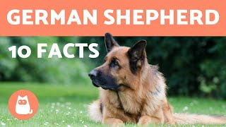 10 German Shepherd Facts  Their History and More!