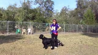 E Collar Conditioning Giant Schnauzer Meiska Lab Mix Diogi Off Leash Recall