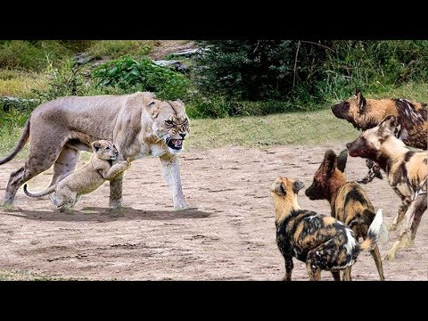 Wild Dog Are Wrong When Try To Hunt Lion Cub - Lion Cub Can't Survive If Family Lion Don't Protect