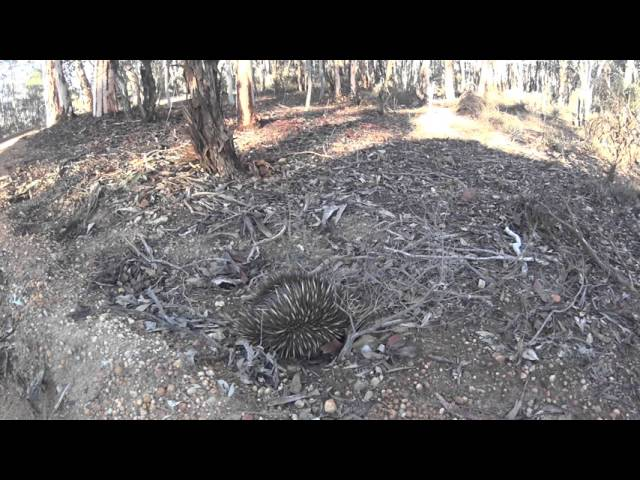 Echidna protecting itself from predator- Australia