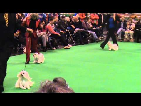 MALTESE CRUFTS 2016 - BREED SPECIALIST JUDGE CAROL LEES (LAFFORD)