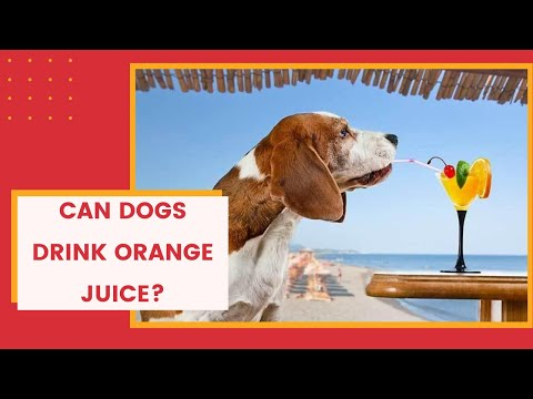 can-dogs-drink-orange-juice?-is-it-good-for-your-dog?