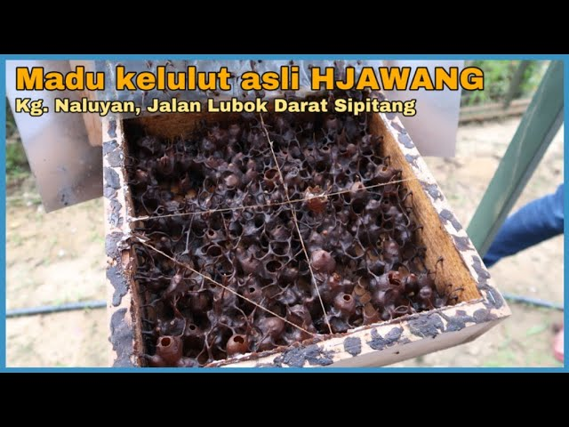 Madu Kelulut Asli HJAWANG - Kg. Naluyan, Sipitang
