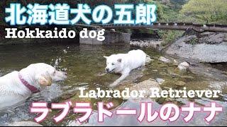朝散歩でよく会う北海道犬の五郎ちゃんと一緒に山散歩に出かけました! ...