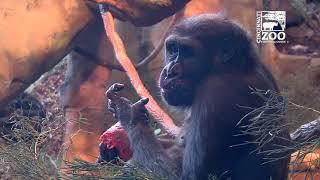 Gorillas Birthday Have a Birthday Party - Cincinnati Zoo