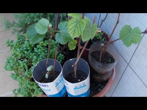 How to Grow Grape Vines From Cuttings