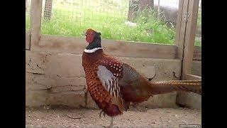 Фазаны. Охотничий фазан в брачный период.