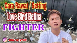 Download lagu Cara Rawat / Setting Love Bird Betina Fighter