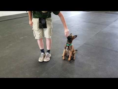 Inka, K9 Unleashed, Family protection dog for sale, Belgian Malinois for sale