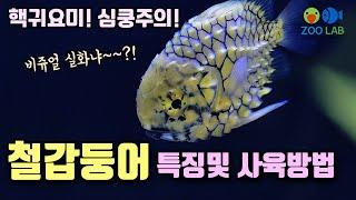 토종해수어 철갑둥어 특징 및 사육방법, 해수어 키우기,…