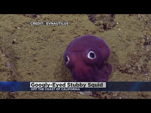 Stubby Squid Only Has Eyes For You