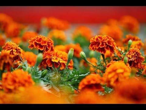 Бархатцы и их выращивание из семян, особенности ухода за