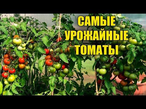САМЫЕ УРОЖАЙНЫЕ НИЗКОРОСЛЫЕ СОРТА ТОМАТОВ! | низкорослые | выращивание | урожайные | томатов | томаты | лучшие | самые
