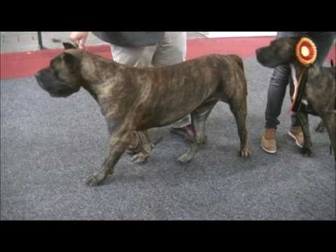 Presa Canario in European Dog Show 2016 B